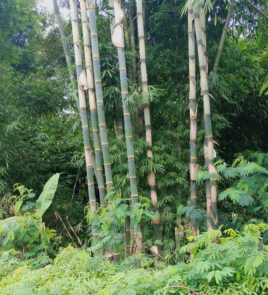 amazing wild bamboo