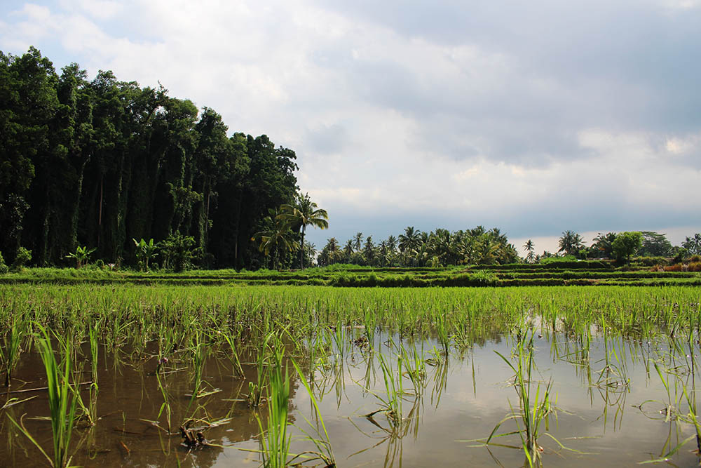 rice field at Ubud's second monkey forest