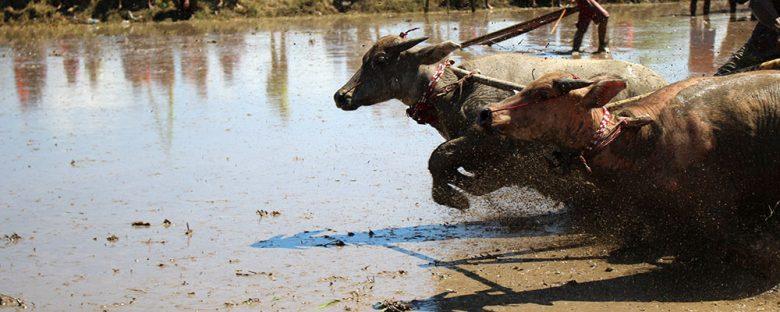 waterbuffalo race