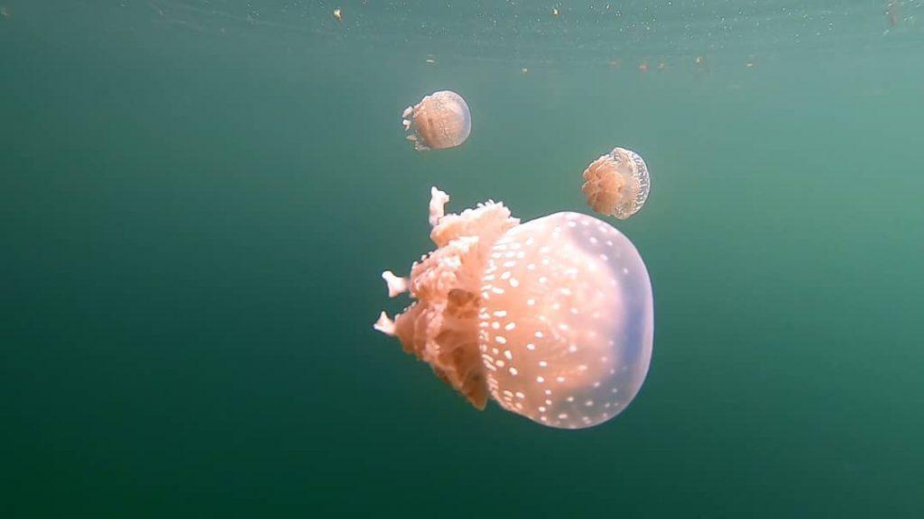 stingless jellyfish